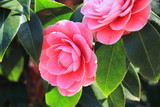 camellia fiore asiatico