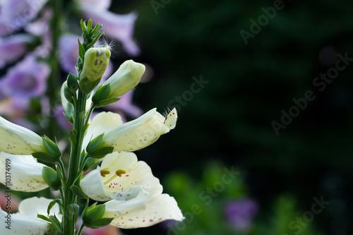 ジギタリスの花 Digitalis