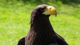 The portrait of White-tailed eagle, Haliaeetus albicilla, is powerful predator