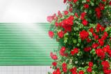 Cespuglio di rose rosse rampicanti sul muro