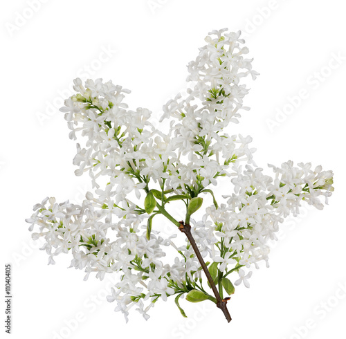 isolated pure white lilac lush branch
