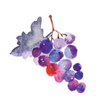 Fototapety watercolor hand made illustration of grapes
