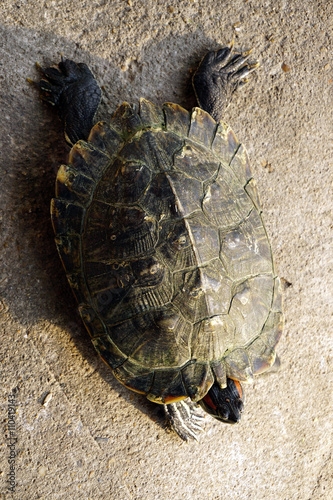 Poster Closeup asian turtle walking on the ground