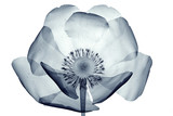 x-ray image of a flower isolated on white , the poppy Papaver - 110421922