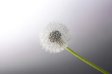 Dandelion on the grey background