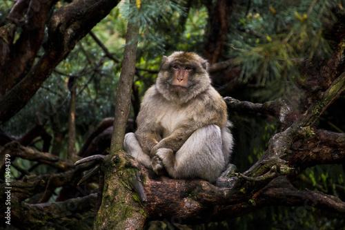 Plagát, Obraz Affe auf Baum