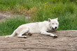 Lazy days of summer. Arctic wolf.