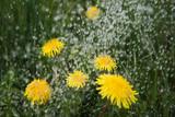 Rain on dandelions.