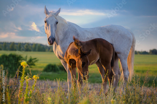 Zdjęcia na płótnie, fototapety, obrazy : white mare with red foal stay on the field on summer