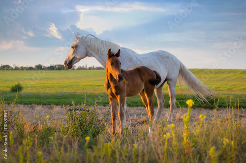Zdjęcia na płótnie, fototapety, obrazy : white mare with red foal stay on the field on summer