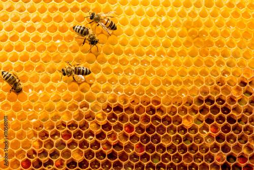 Zdjęcia na płótnie, fototapety, obrazy : closeup of bees on honeycomb in apiary
