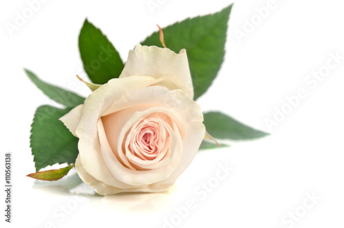 Zdjęcia na płótnie, fototapety, obrazy : beautiful single white rose lying down on a white background