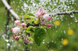 Apple blossoms and rain.