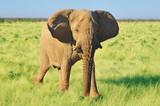 Fototapeta Sawanna - African elephant © robnaw