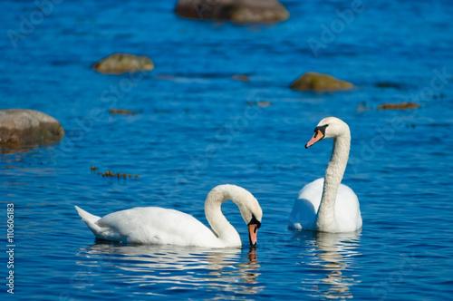 Fotobehang Zwaan Couple of white swans