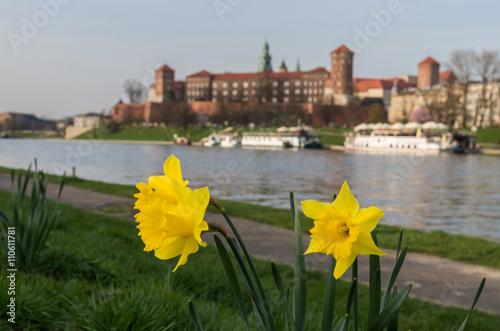 Kwitnący daffodils i Wawel kasztel, Krakow, Polska