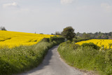 Small Country Road. A narrow English country road runs between two hedges that bound fields of canola on a spring day.