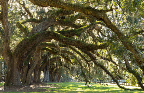Oaks Avenue Charleston SC – tree lined road with Live Oak trees forest in ACE Basin