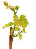 Seedling grape on white