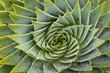 Постер, плакат: closeup of spiral aloe cacti