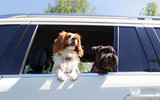 Two dogs traveling in car