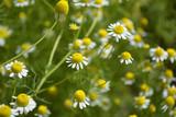 chamomile medicinal