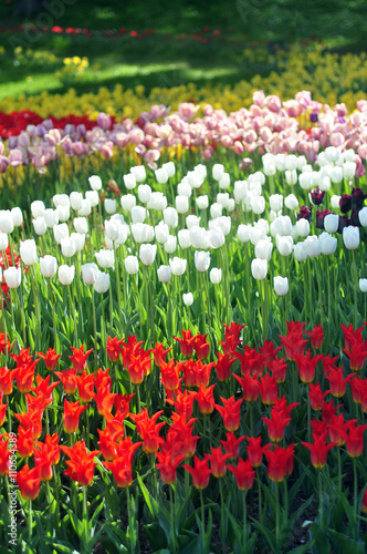 Foto op Canvas Azalea Colorful tulips, tulips in spring on a background of trees in th