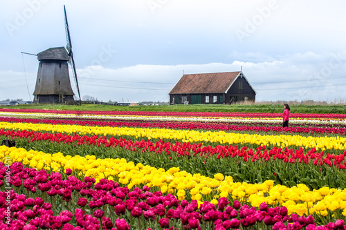 Tulip fields in Holland Poster