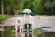 golden retriever and puppy in a puddle holding an umbrella
