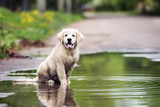 happy dirty golden retriever puppy sitting in a puddle