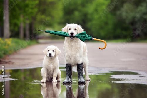 Naklejka golden retriever szczeniak w kałuży gospodarstwa parasol