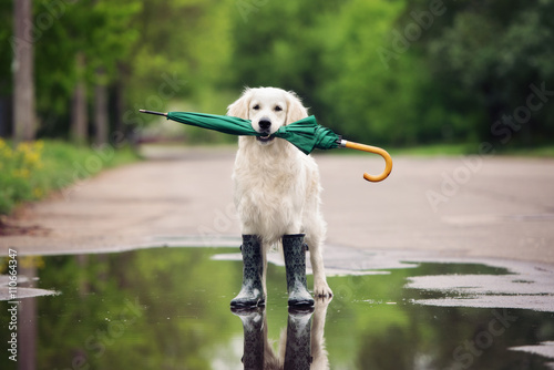 Poszter golden retriever dog in rain boots holding an umbrella