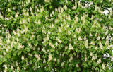 Beautiful blooming chestnuts. ( Aesculus hippocastanum)