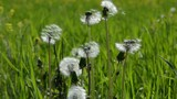 Dandelion seed heads in meadow on sunny windy spring day