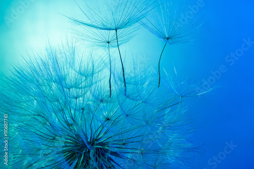 fototapeta na ścianę dandelion on the blue background