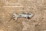 Dead Tokay, Gecko on concrete floor