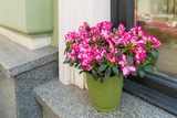 Potted flowers of pink azalea. Street decoration with plants and flowers.