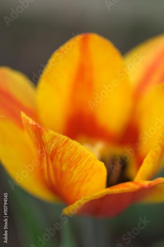 Zdjęcia na płótnie, fototapety, obrazy : Тюльпаны на грядке с клубникой