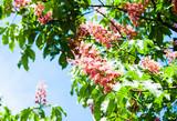 color pink chestnut