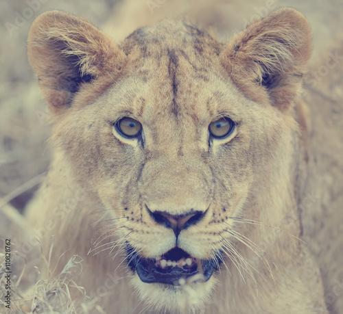 Fototapeta Close lion in National park of Kenya