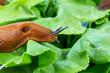 Schnecke mit Salatblatt - 110831322