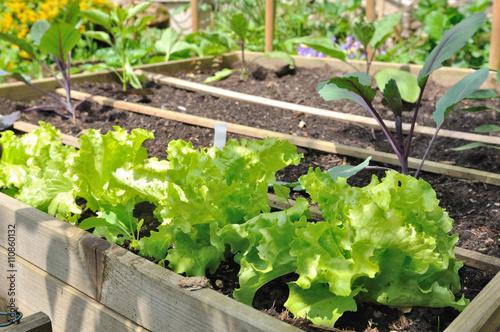 salade et jeunes plants de l gumes dans carr potager stock photo and royalty free images on. Black Bedroom Furniture Sets. Home Design Ideas