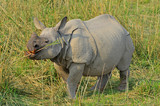 Indian rhinoceros in Kaziranga National Park