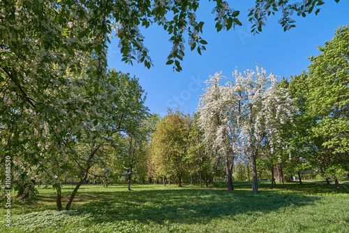 Zdjęcia na płótnie, fototapety, obrazy : Blooming bird-cherry and apple trees