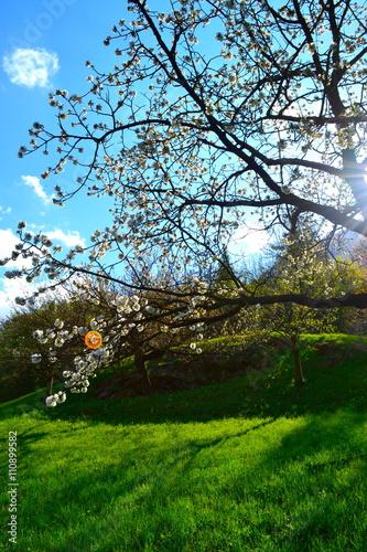Zdjęcia na płótnie, fototapety, obrazy : Kirschblüte im Sonnenlicht