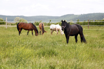 Herd of beautiful horses. Young horses grazing in a meadow near