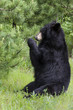 Black Bear Eating Leaves in a Sitting Position