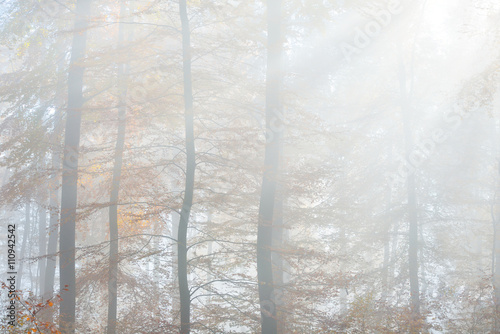 Mysterious morning fog in a beautiful beech tree forest. Autumn trees with yellow and orange foliage. Heidelberg, Germany - 110942542