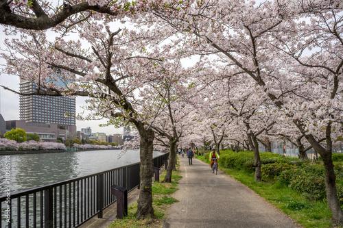 Poster View of sakura trees by the river from Sakuranomiya park in Osak