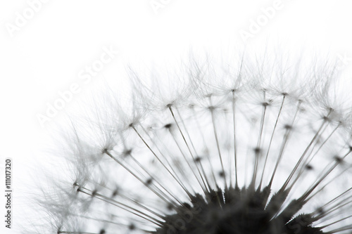 Dandelion isolated on white - 111017320